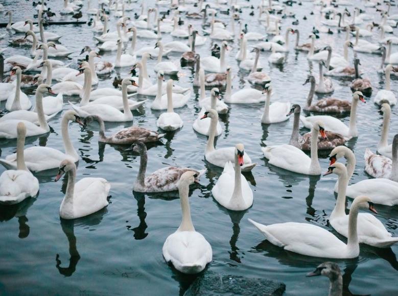 Vltava Swans - meteoweek.com