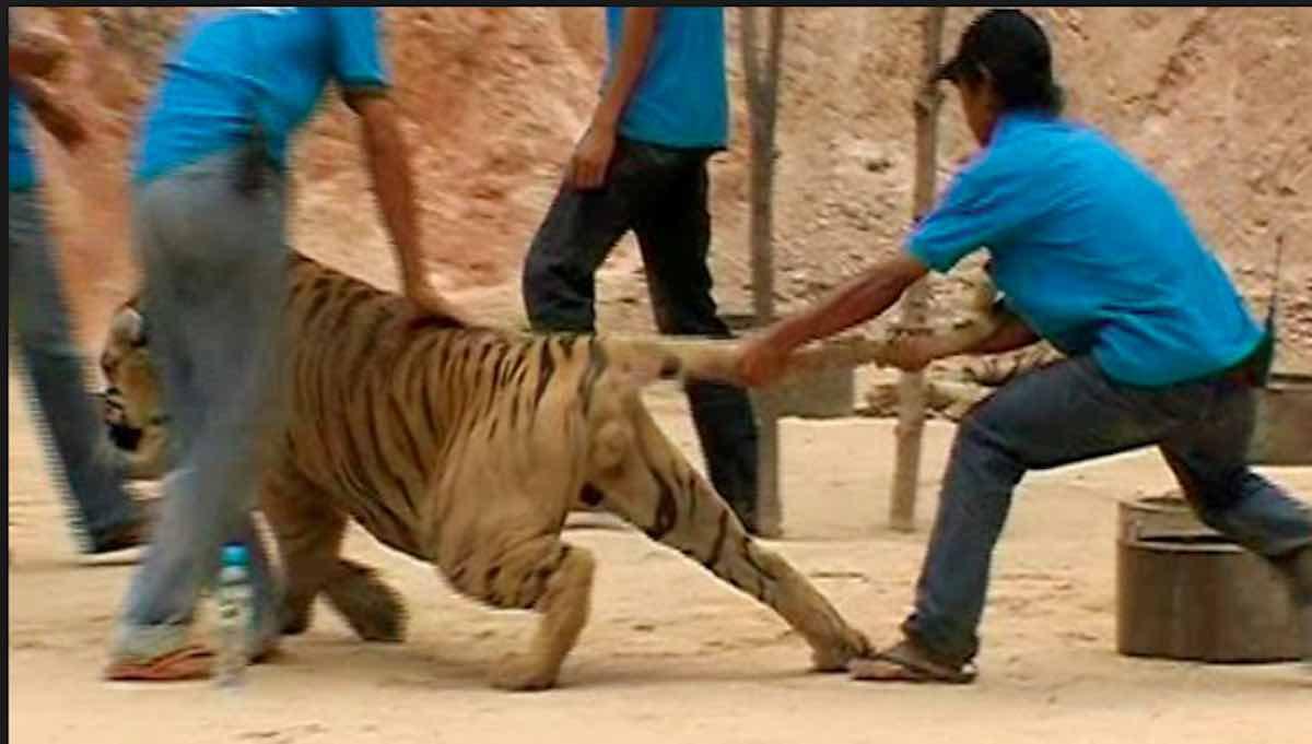 Tigre uccide domatore - meteoweek.com