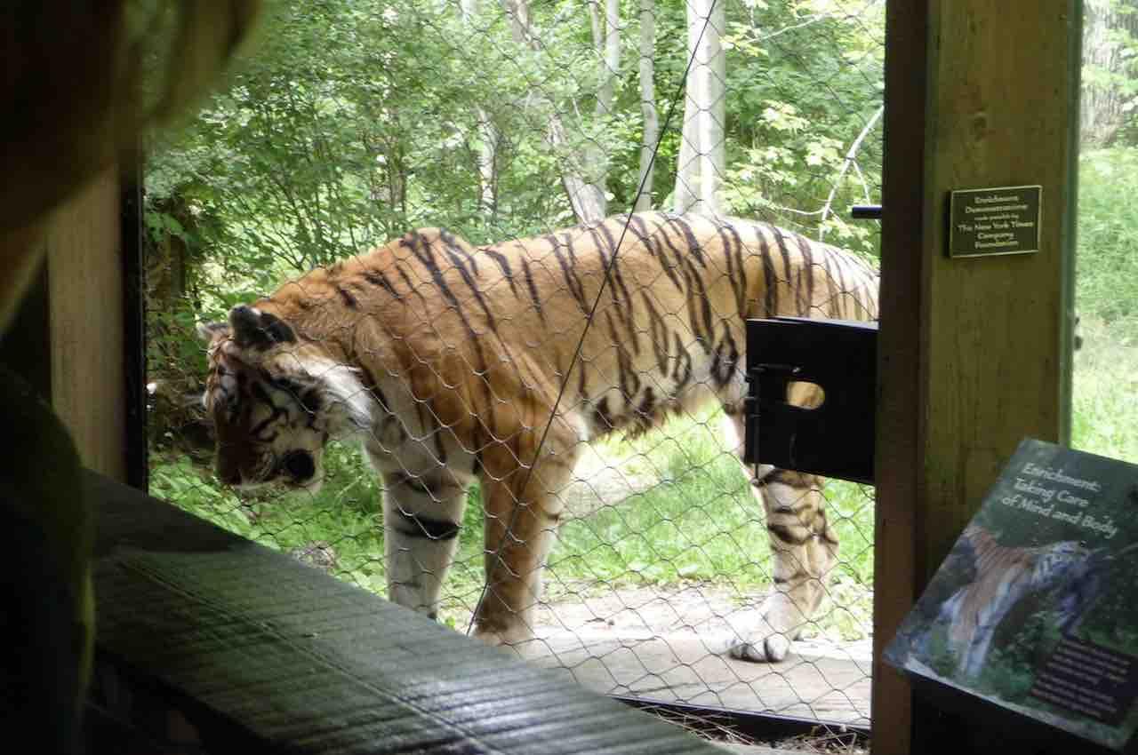 Coronavirus : Tigre positiva allo Zoo del Bronx a NYC altre