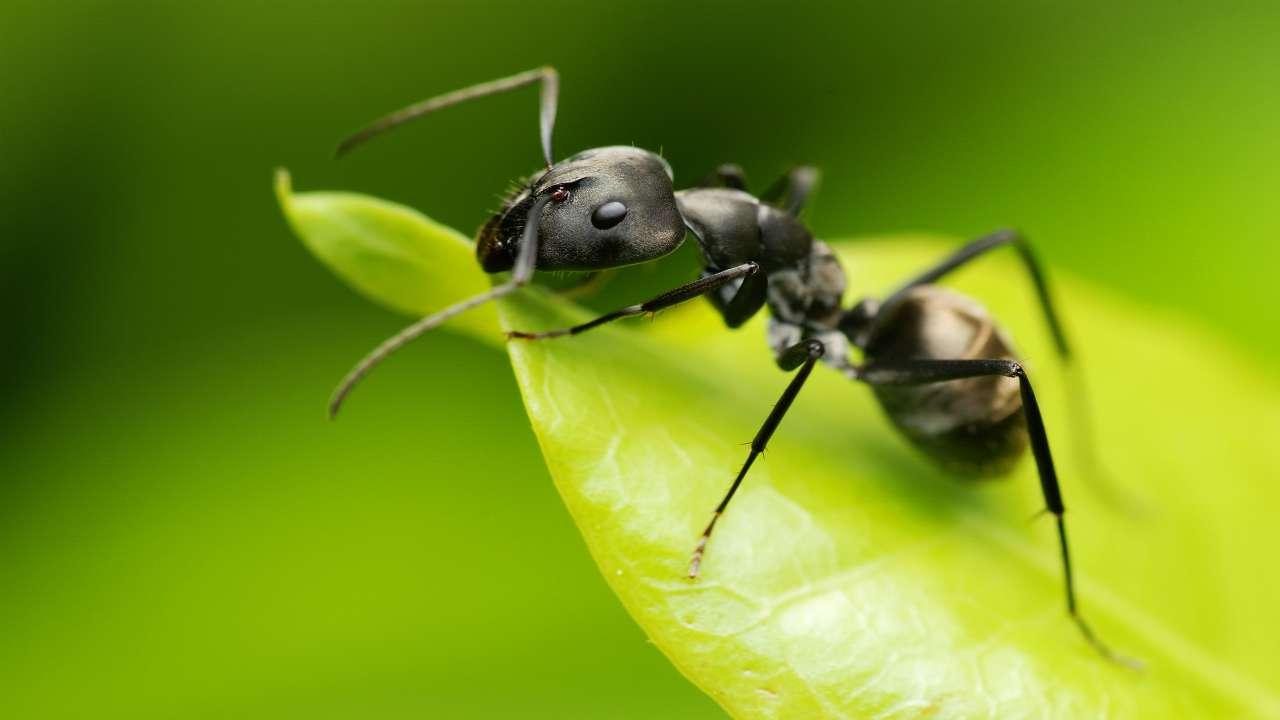 Come allontanare in maniera green le formiche da casa