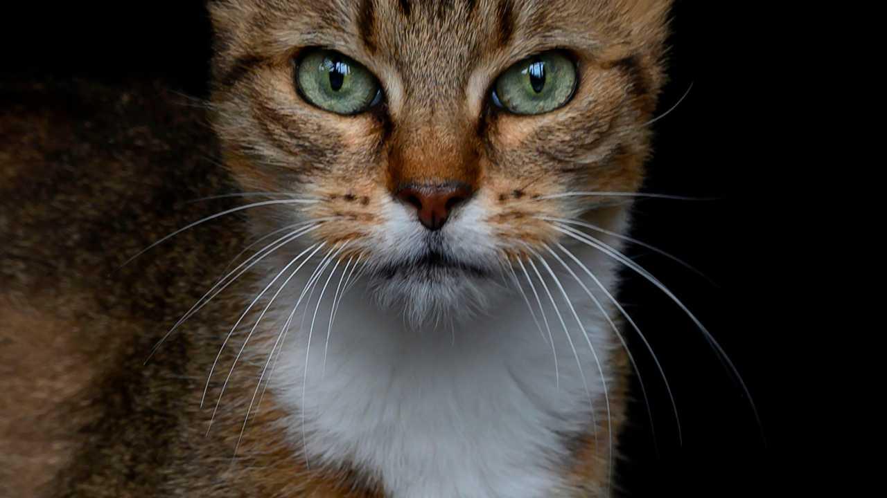 Gatto con virus raro: ad Arezzo sotto vigilanza pipistrelli