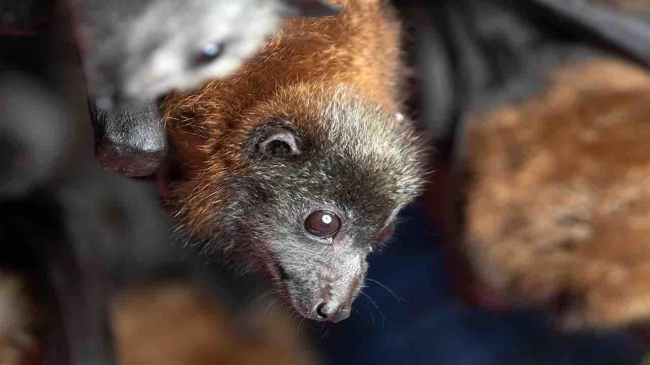 Bimba morsa da un pipistrello: i medicinali anti rabbia arri