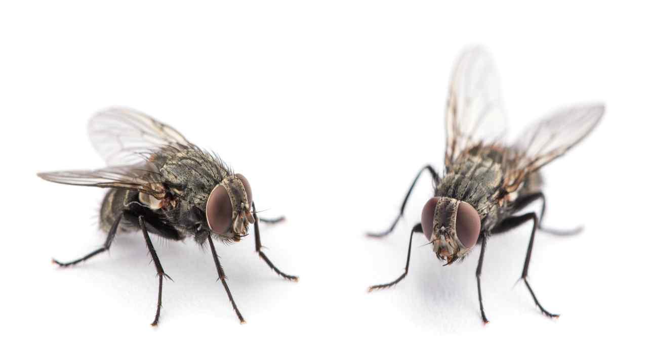 Come allontanare le mosche dalle nostre abitazioni con rimed