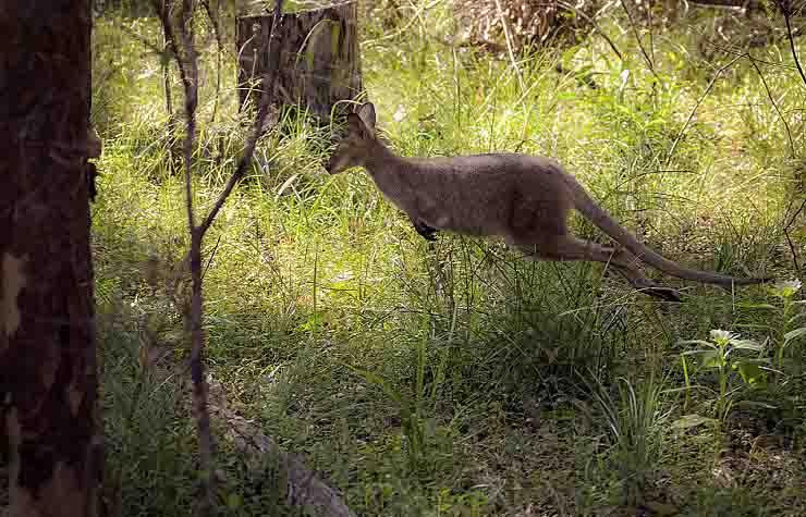 Avvistato canguro in Toscana