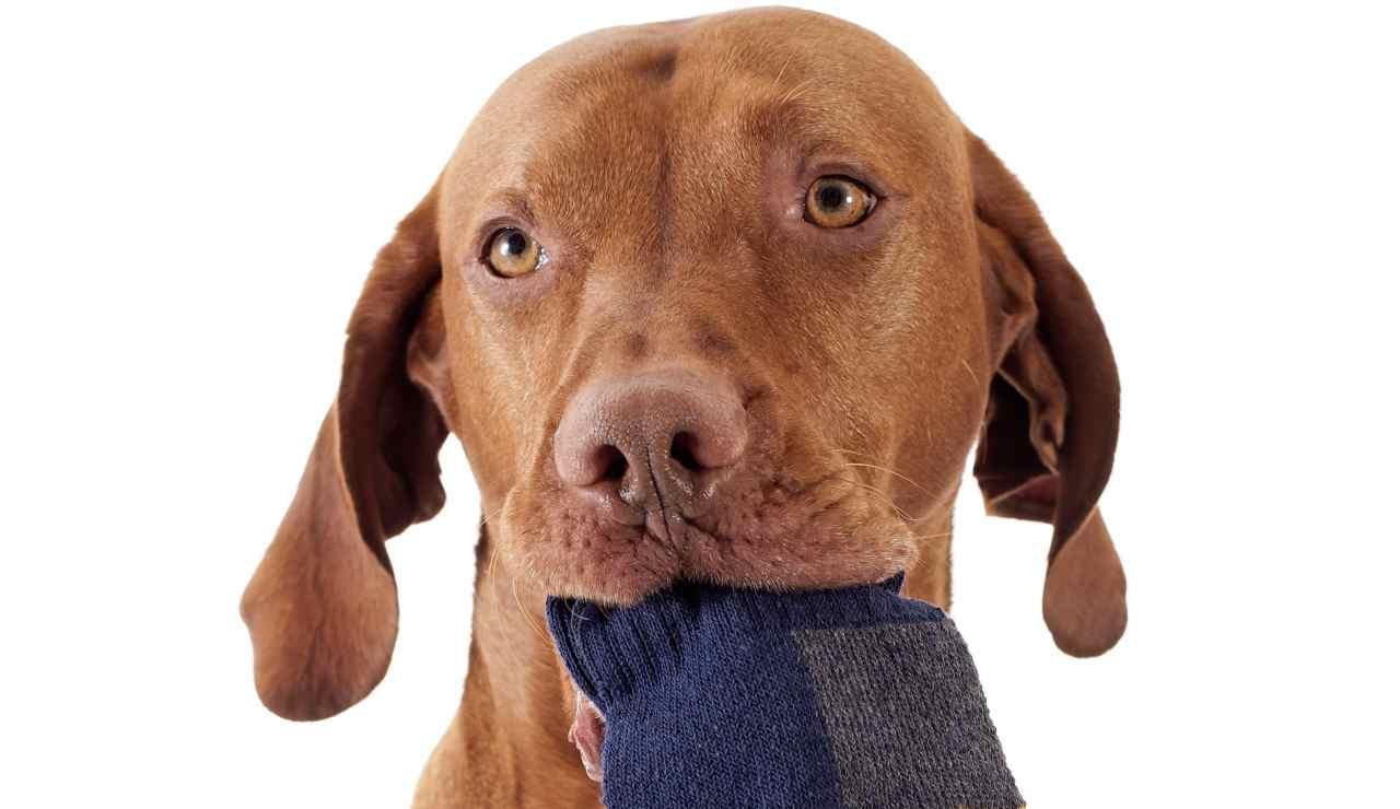 Perché i cani rubano pantofole e calzini? Ecco svelato il motivo
