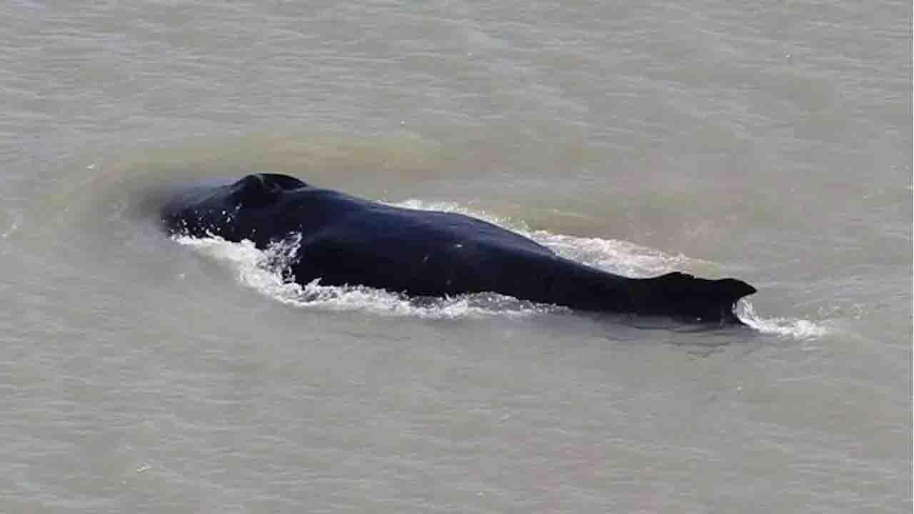 Balene spiaggiate Australia, l
