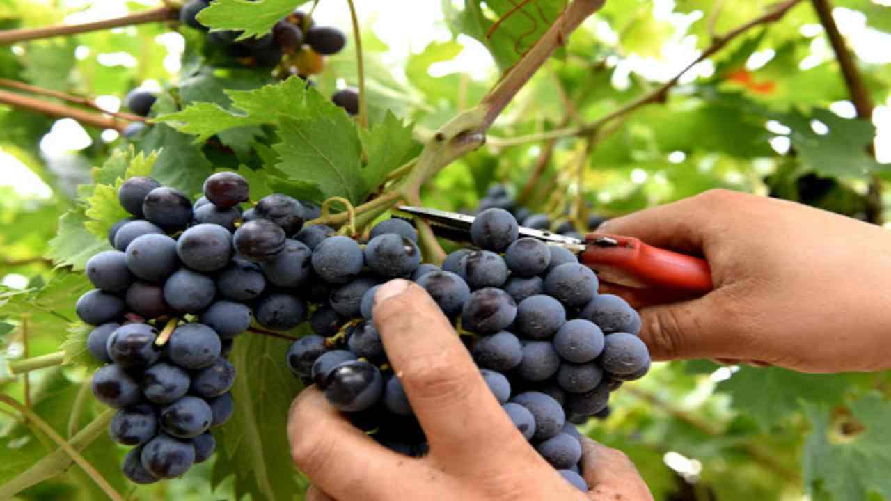 Tempo di vendemmia: ecco cinque cose che si possono fare con l'uva