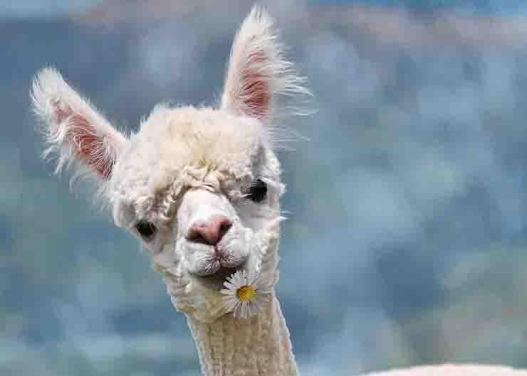 Coronavirus, la ricerca: i nanoanticorpi negli alpaca
