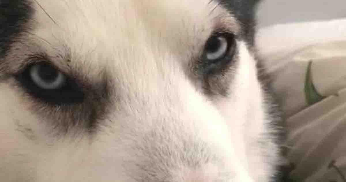 husky uccide cagnolino
