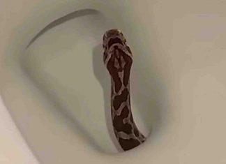 serpente nel wc Texas