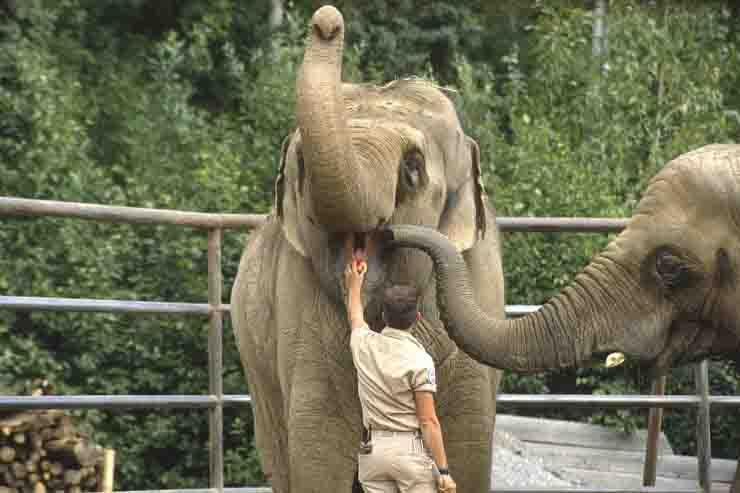Elefante colpisce il dipendente di uno zoo: un colpo violentissimo con la  proboscide - MeteoWeek